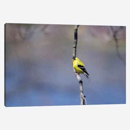Goldfinch in Blue Canvas Print #DVG38} by David Gardiner Canvas Art