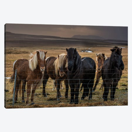 Icelandic Ponies Canvas Print #DVG45} by David Gardiner Canvas Artwork