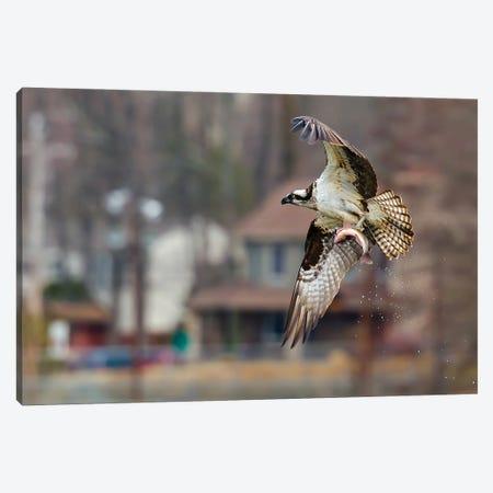 Osprey Canvas Print #DVG56} by David Gardiner Canvas Art Print