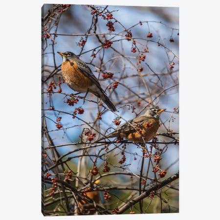 Spring Robins Canvas Print #DVG72} by David Gardiner Canvas Art