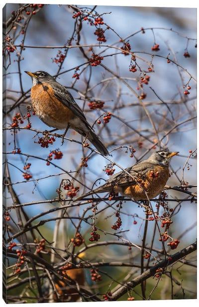 Spring Robins Canvas Art Print