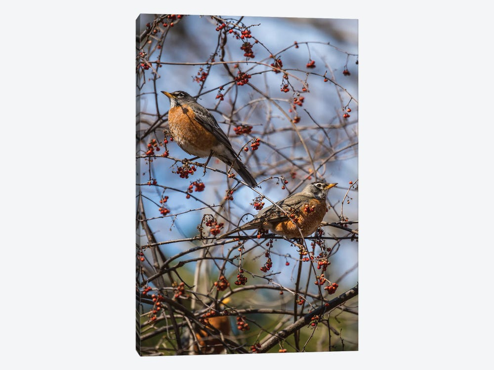 Spring Robins by David Gardiner 1-piece Canvas Print