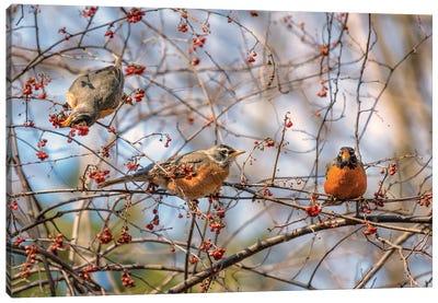 Spring Robins II Canvas Art Print