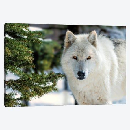 White Wolf Canvas Print #DVG84} by David Gardiner Canvas Wall Art