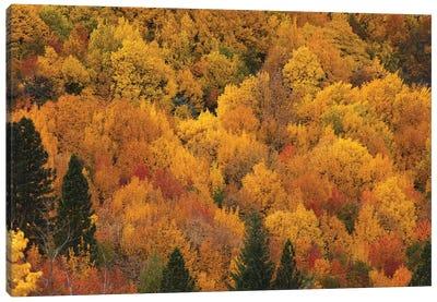 Autumn colors, Arrowtown, near Queenstown, Otago, South Island, New Zealand Canvas Art Print