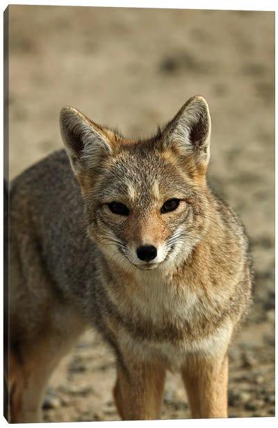 South American gray fox (Lycalopex griseus), Patagonia, Argentina Canvas Art Print