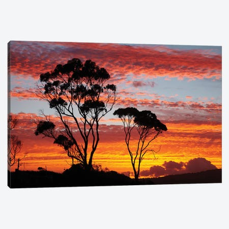 Gum Trees At Sunset, Tasmania, Australia Canvas Print #DWA2} by David Wall Canvas Art
