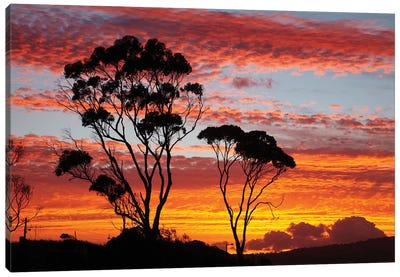 Gum Trees At Sunset, Tasmania, Australia Canvas Art Print