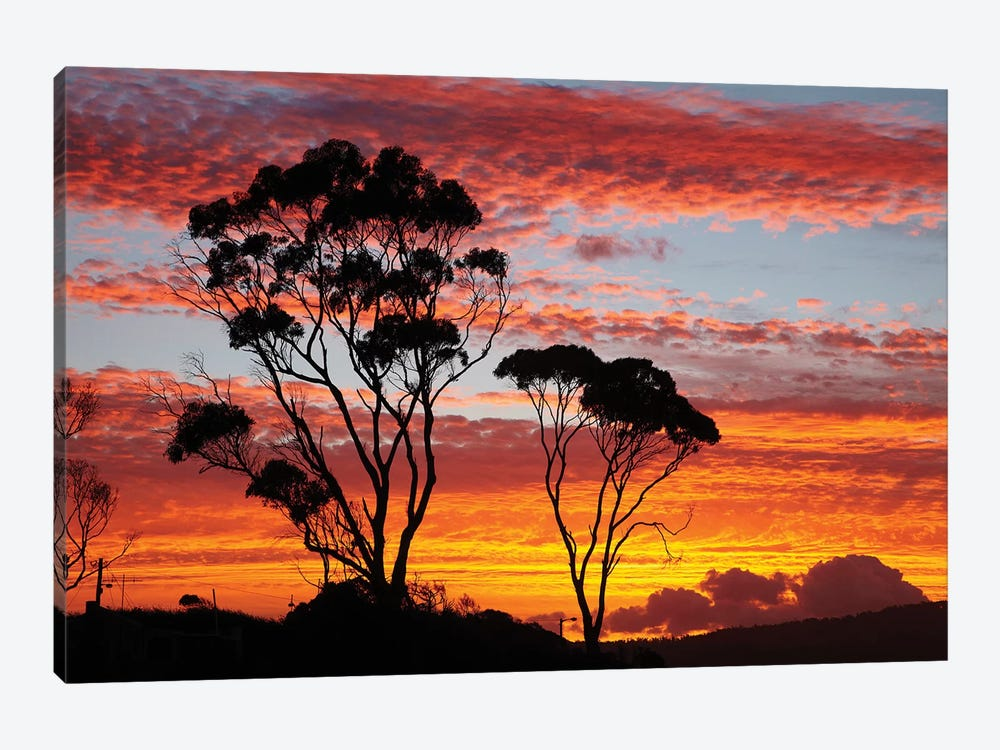 Gum Trees At Sunset, Tasmania, Australia by David Wall 1-piece Canvas Art