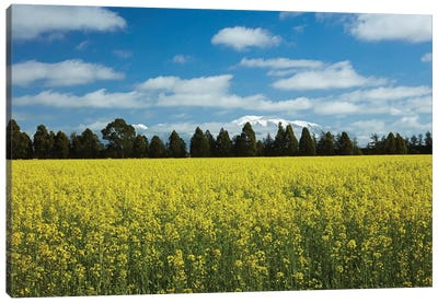 Yellow flowers of rapeseed field, near Methven and Mt. Hutt, Mid Canterbury, South Island Canvas Art Print