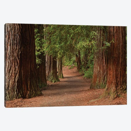Walking Track Through The Redwoods (Whakarewarewa Forest), Rotorua, North Island, New Zealand Canvas Print #DWA56} by David Wall Canvas Art