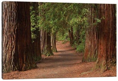 Walking Track Through The Redwoods (Whakarewarewa Forest), Rotorua, North Island, New Zealand Canvas Art Print