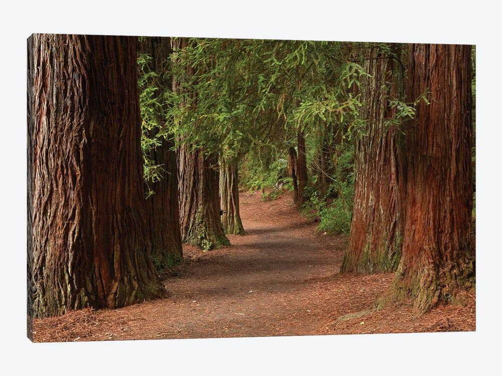 Walking Track Through The Redwoods (Whakarewarewa Forest), Rotorua, North Island, New Zealand by David Wall 1-piece Canvas Print