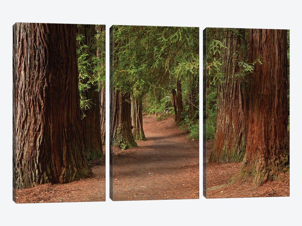 Walking Track Through The Redwoods (Whakarewarewa Forest), Rotorua, North Island, New Zealand by David Wall 3-piece Canvas Art Print