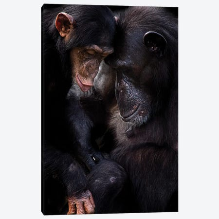 Chimpanzees Canvas Print #DWH12} by David Whelan Canvas Art