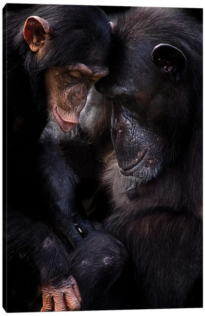 Chimpanzees Canvas Art Print