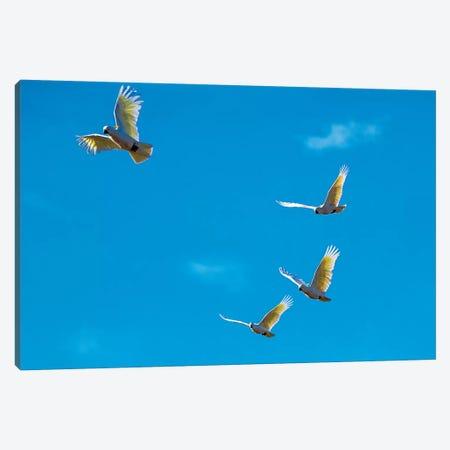 Cockatoos In Flight Canvas Print #DWH14} by David Whelan Canvas Art Print