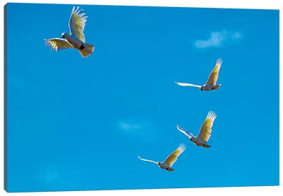 Cockatoos In Flight Canvas Art Print