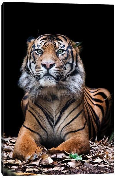 Hutan - Sumatran Tiger Canvas Art Print