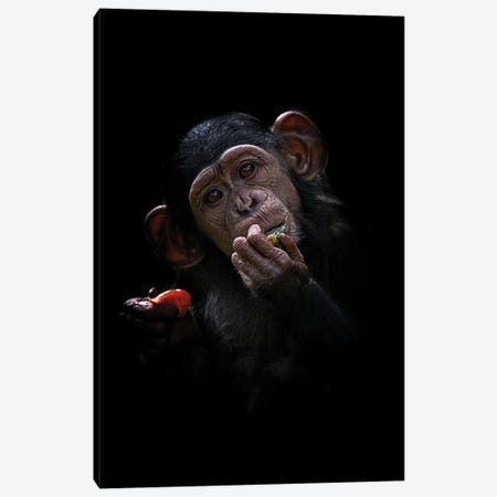 Baby Chimpanzee Canvas Print #DWH3} by David Whelan Canvas Print