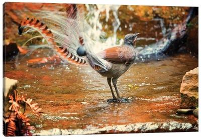 Lyrebird Canvas Art Print