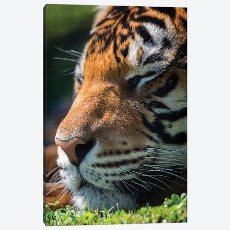 Bengal Tiger Sleeping Canvas Print #DWH5} by David Whelan Canvas Art