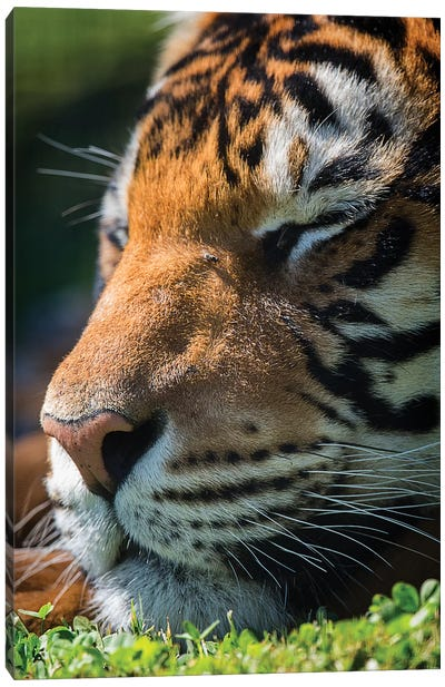Bengal Tiger Sleeping Canvas Art Print