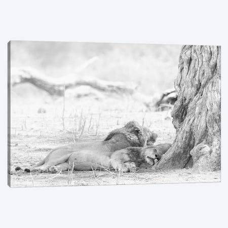 Sleeping Lions Canvas Print #DWH64} by David Whelan Canvas Artwork