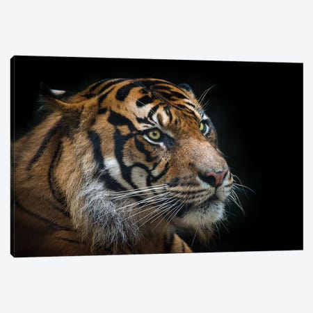 Sumatran Tiger Canvas Print #DWH71} by David Whelan Canvas Artwork