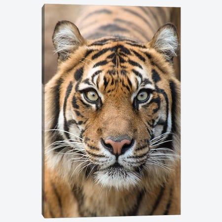 Sumatran Tiger – Indrah Canvas Print #DWH72} by David Whelan Canvas Art