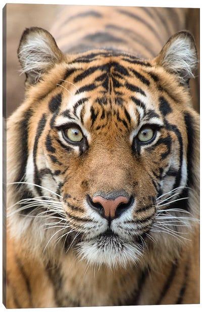 Sumatran Tiger – Indrah Canvas Art Print