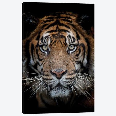 Sumatran Tiger - Mattai Canvas Print #DWH73} by David Whelan Canvas Art