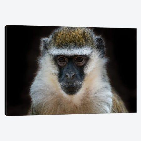 Vervet Monkey Colour Canvas Print #DWH80} by David Whelan Canvas Art Print