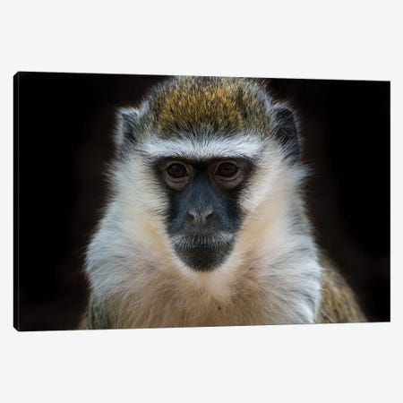 Vervet Monkey Colour Canvas Print #DWH80} by David Whelan Canvas Art Print