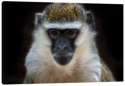 Vervet Monkey Colour Canvas Art Print