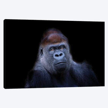 Western Lowland Gorilla Canvas Print #DWH81} by David Whelan Art Print