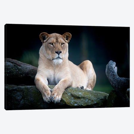 White Lion Canvas Print #DWH84} by David Whelan Canvas Wall Art