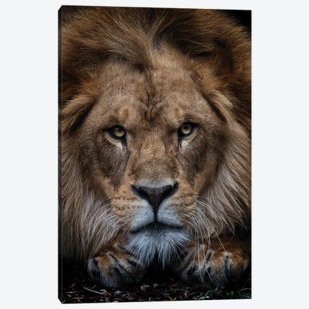 African Lion - Zuberi Canvas Print #DWH91} by David Whelan Canvas Artwork