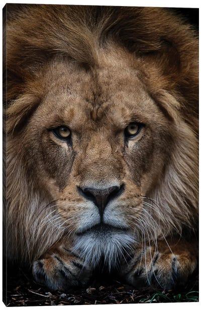 African Lion - Zuberi Canvas Art Print