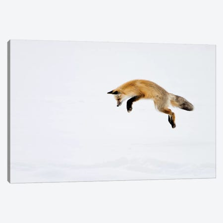 Red Fox Leaping For His Prey Under The Snow, Yellowstone National Park, Wyoming Canvas Print #DWI10} by Deborah Winchester Art Print