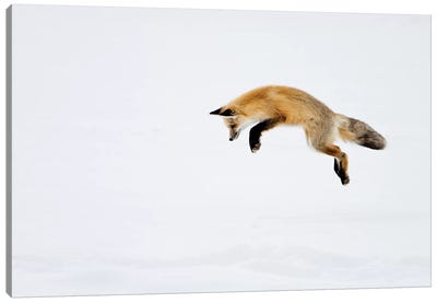 Red Fox Leaping For His Prey Under The Snow, Yellowstone National Park, Wyoming Canvas Art Print