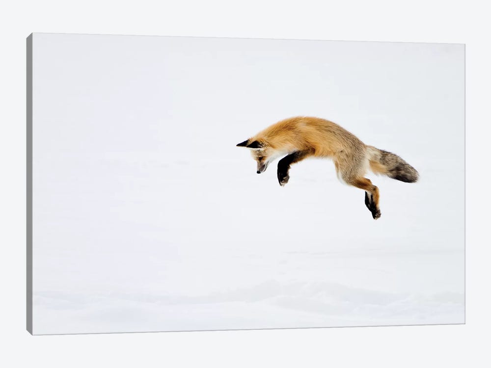 Red Fox Leaping For His Prey Under The Snow, Yellowstone National Park, Wyoming by Deborah Winchester 1-piece Canvas Artwork
