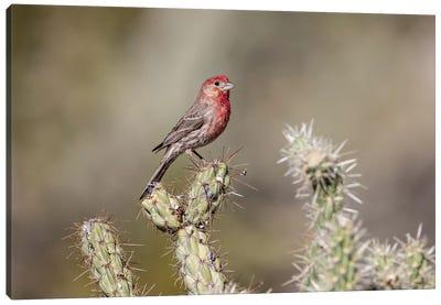 USA, Buckeye, Arizona. House finch perched on a cholla cactus in the Sonoran Desert. Canvas Art Print