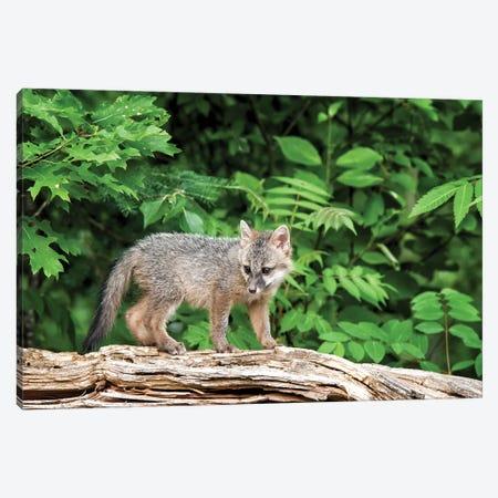 USA, Minnesota Wildlife Connection, Sandborn, Minnesota. A grey fox kit stands on a fallen tree. Canvas Print #DWI6} by Deborah Winchester Canvas Art Print