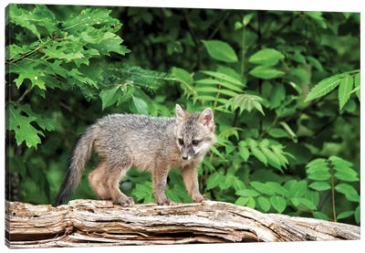 USA, Minnesota Wildlife Connection, Sandborn, Minnesota. A grey fox kit stands on a fallen tree. Canvas Art Print