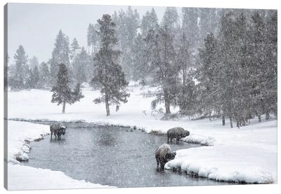 USA, Nez Perce River, Yellowstone National Park, Wyoming. Bison in a snowstorm along the Nez Perce. Canvas Art Print