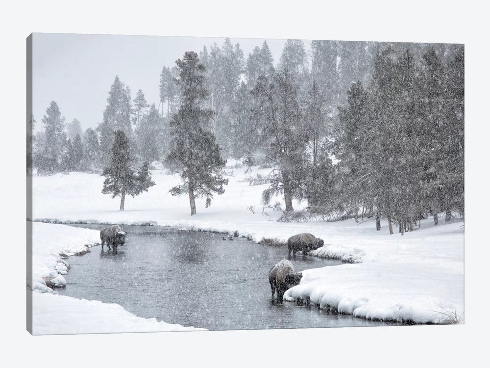 USA, Nez Perce River, Yellowstone National Park, Wyoming. Bison in a snowstorm along the Nez Perce. by Deborah Winchester 1-piece Canvas Print