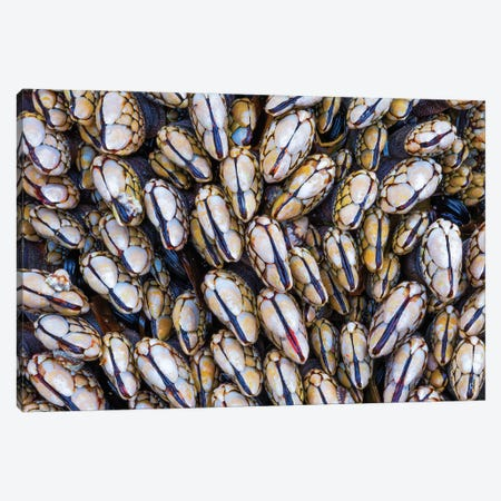 Mussel Grouping Canvas Print #DWP165} by Darren White Photography Canvas Artwork