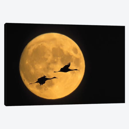 Flying Sandhill Crane Couple With A Full Moon Background, Bosque del Apache National Wildlife Refuge, New Mexico, USA Canvas Print #EAN1} by Ellen Anon Canvas Art