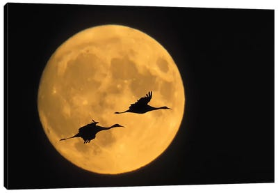 Flying Sandhill Crane Couple With A Full Moon Background, Bosque del Apache National Wildlife Refuge, New Mexico, USA Canvas Art Print